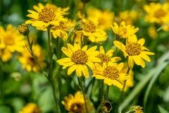 Vista próxima da flor amarela da erva de ArnicaArnica Montana Nota: Profundidade de campo rasa fotos de stock royalty free