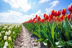 Vista próxima da terra de tulipas coloridas Fotografia de Stock