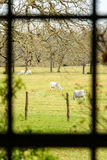 Vista próxima de um pasto com as vacas através da janela da casa de rancho Imagens de Stock