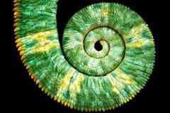 Vista próxima de uma cauda colorida verde bonita do calyptratus do chamaeleo que revela a curva espiral matemática de fibonacci fotografia de stock