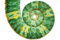Vista próxima de uma cauda colorida verde bonita do calyptratus do chamaeleo que revela a curva espiral matemática de fibonacci imagem de stock