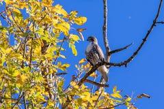 Vista próxima no falcão vermelho-atado que senta-se em um ramo fotografia de stock