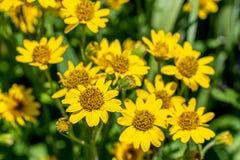 Vista pr?xima da flor amarela da erva de ArnicaArnica Montana Nota: Profundidade de campo rasa fotos de stock royalty free