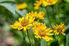 Vista pr?xima da flor amarela da erva de ArnicaArnica Montana Nota: Profundidade de campo rasa fotografia de stock