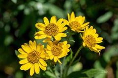 Vista pr?xima da flor amarela da erva de ArnicaArnica Montana Nota: Profundidade de campo rasa fotos de stock