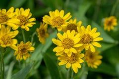 Vista pr?xima da flor amarela da erva de ArnicaArnica Montana Nota: Profundidade de campo rasa imagem de stock royalty free