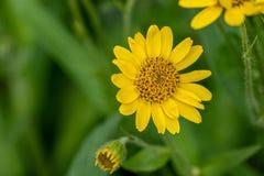 Vista pr?xima da flor amarela da erva de ArnicaArnica Montana Nota: Profundidade de campo rasa imagem de stock