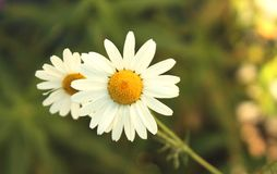 Vista pr?xima da flor da camomila no macro do dia de ver?o fotografia de stock