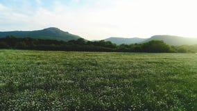 Vista que sorprende del paisaje del verano con el campo de la manzanilla con los árboles y las montañas verdes en el fondo contra almacen de metraje de vídeo