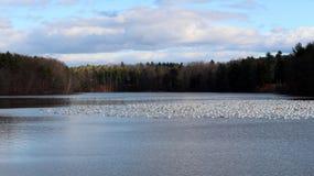 Vista rara de los gansos de nieve en el lago Loughberry Imagenes de archivo