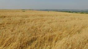 Vista a?rea del campo de trigo, Xi'an, China almacen de metraje de vídeo