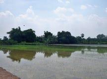 Vista recentemente sviluppata del giacimento del riso sotto cielo blu Immagine Stock