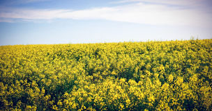 Vista scenica del campo giallo della senape Immagini Stock