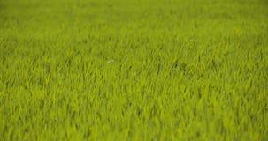 Vista scenica del giacimento di grano contro il cielo archivi video