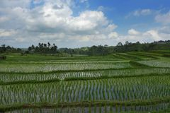 Vista scenica del paesaggio di panorama di bella risaia verde stupefacente del terrazzo del riso in Jatiluwih Bali Fotografie Stock
