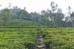 Vista scenica del percorso sulla piantagione di tè coperta di erba verde e di alberi, Sri Lanka, immagini stock libere da diritti