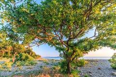 Vista scenica della spiaggia pietrosa di Mar Nero con l'albero ramoso del terebinto al tramonto Paesaggio della spiaggia Immagine Stock