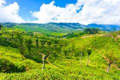 Vista scenica H della piantagione di tè dell'alpeggio di Haputale Immagini Stock