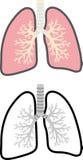 Vista a sezione trasversale del polmone Fotografia Stock