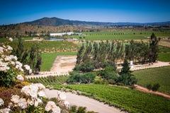 Vista sobre o vinhedo, adega com rosas brancas Fotos de Stock Royalty Free