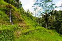 Vista sobre terraços do arroz de Tegallalang perto de Ubud, Bali, Indonésia Fotografia de Stock Royalty Free