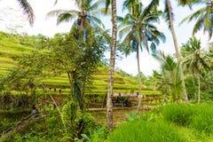Vista sobre terraços do arroz de Tegallalang perto de Ubud, Bali, Indonésia Imagem de Stock