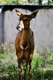 Vista Southafrican selvagem da gazela foto de stock royalty free