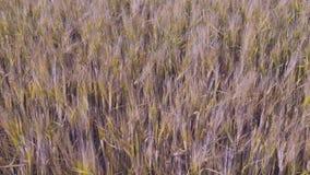 Vista splendida del giacimento della segale Comcept di agricoltura Bei ambiti di provenienza della natura video d archivio