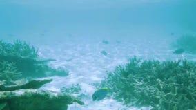 Vista splendida del mondo subacqueo snorkeling Le Maldive, Oceano Indiano Coralli morti della scogliera e bei pesci in acqua blu archivi video
