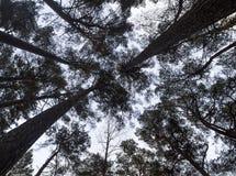 Vista su sulle corone dei pini in Lituania, Klaipeda fotografie stock