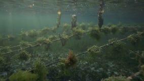 Vista subacuática de la granja de la alga marina con los pedazos de mala hierba atados sobre líneas y dejados para crecer Fotografía de archivo libre de regalías