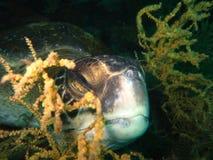 Vista subacuática de las islas de mar verde de un Islas Galápagos de la tortuga imagen de archivo