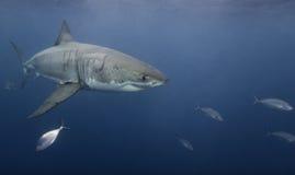 Vista subaquática de um grande Sul da Austrália das ilhas de Netuno do tubarão branco Foto de Stock Royalty Free