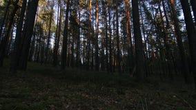 Vista sugli alberi nella foresta dell'pino-abete rosso alla sera archivi video