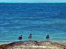 Vista sul mare caraibica con tre uccelli Fotografie Stock Libere da Diritti