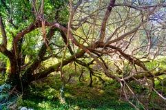 Vista sull'albero sfrondato con i rami lunghi Immagini Stock Libere da Diritti