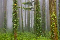 Vista sulla foresta verde nebbiosa Immagine Stock