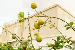 Vista sulla pianta organica e sana fresca del limone Agrumi di agricoltura con colore giallo luminoso naturale Immagine Stock Libera da Diritti