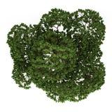 Vista superior da árvore australiana de Boab isolada no branco Imagem de Stock
