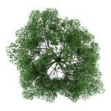 Vista superior da árvore de carvalho pedunculate isolada no branco Imagem de Stock Royalty Free