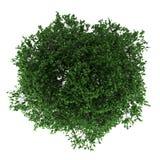 Vista superior da árvore do hornbeam isolada no branco Fotografia de Stock Royalty Free
