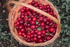 Vista superior da cesta com as cerejas doces vermelhas maduras imagem de stock