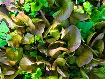 Vista superior da salada cultivado em casa nova que cresce em um jardim foto de stock royalty free
