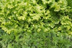 Vista superior das ervas com gotas da água: manjericão, salada, erva-doce Foto de Stock