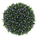 Vista superior das flores da pervinca do anão isoladas Fotografia de Stock
