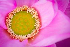 Vista superior de la flor de loto rosada En budismo el loto se sabe para ser asociado a pureza, a despertar y a fidelidad del esp foto de archivo