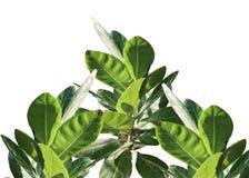 Vista superior de la hoja tropical del árbol aislada en el fondo blanco para el contexto verde del follaje flora, ambiente ilustración del vector