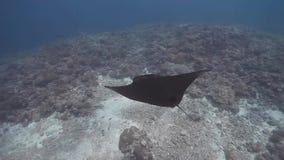 Vista superior de la nadada del rayo de manta del filón en el arrecife de coral almacen de metraje de vídeo