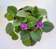 Vista superior de um potenciômetro das violetas que florescem na sala Foto de Stock