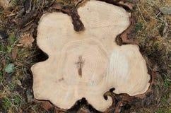Vista superior de un árbol del corte Foto de archivo libre de regalías